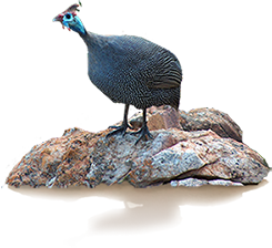 Guinea fowl on a rock